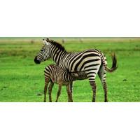 Принт прямоугольный, серия Африка, 022